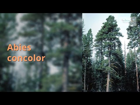 Abies concolor Growing Guide