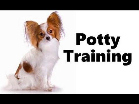 How To Potty Train A Papillon Puppy Papillon House Training Tips
