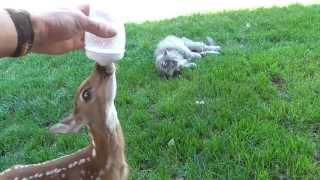 Learning to drink from a bottle. Baby deer rescue and release