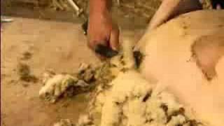Esquiladora / peladora ovinos