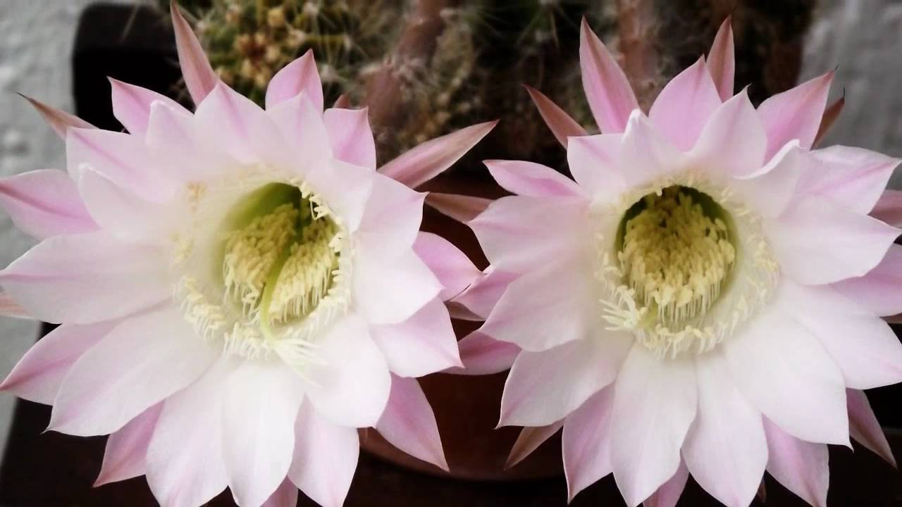 Big Cactus Flower Huge Double Flower Special Pink Flower Youtube