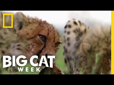 How Predators Get Their Prey | Big Cat Week