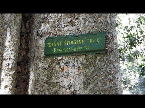 Stinging Tree. Australia.