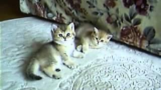 Golden BRI kittens (Золотые британские котята)