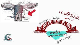 Анатомия женского таза. Мнемоника