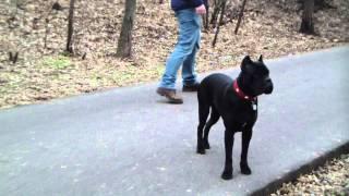 Дрессировка кане корсо http://dogclass.ru/