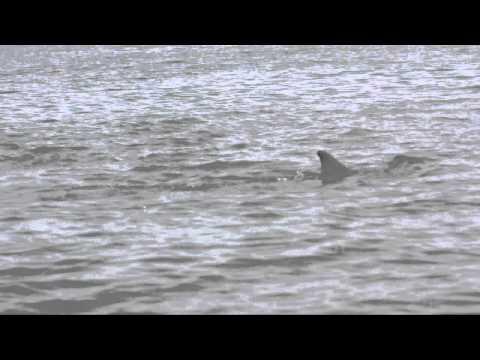 Male dolphins attack mother, newborn calf near Tybee Island, Ga.