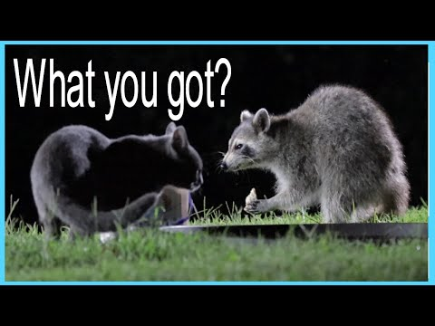 raccoons-and-cat-enjoy-each-others-company