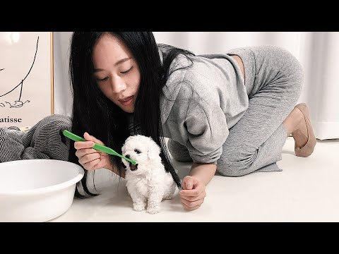 (ENG SUB) Brushing My dog's Teeth For The First Time! 狗狗第一次刷牙강아지첫양치