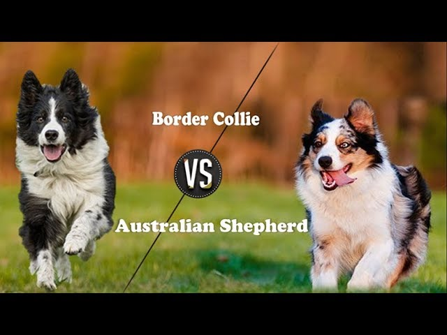 Border Collie Vs Australian Shepherd Breed Info And Comparison Youtube