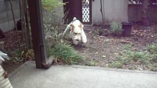 ワイアーフォックステリアのリフ、3歳♂。 その昔この犬種はイギリスで...