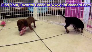 Miniature Dachshund, Puppies, For, Sale, In, South Bend, Indiana, County, In, Allen, Hamilton, St  J