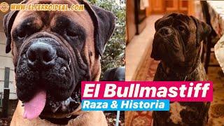 El Bullmastiff Raza & Historia