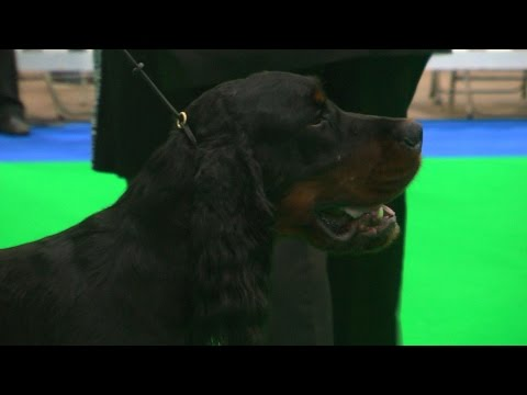 City of Birmingham Dog Show 2016 - Gundog group - Shortlist