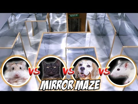 MIRROR MAZE COMPETITION - CAT / RAT / DOG / HAMSTER