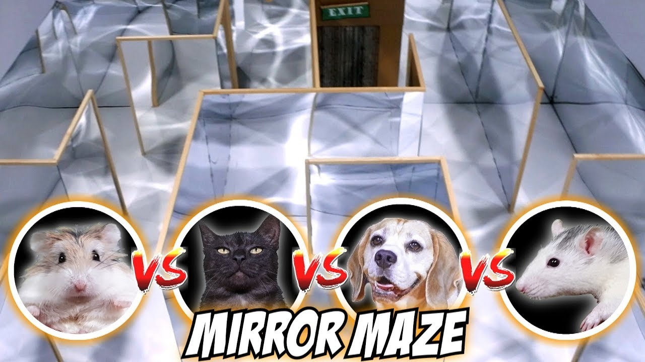 MIRROR MAZE COMPETITION - CAT???? / RAT???? / DOG???? / HAMSTER????