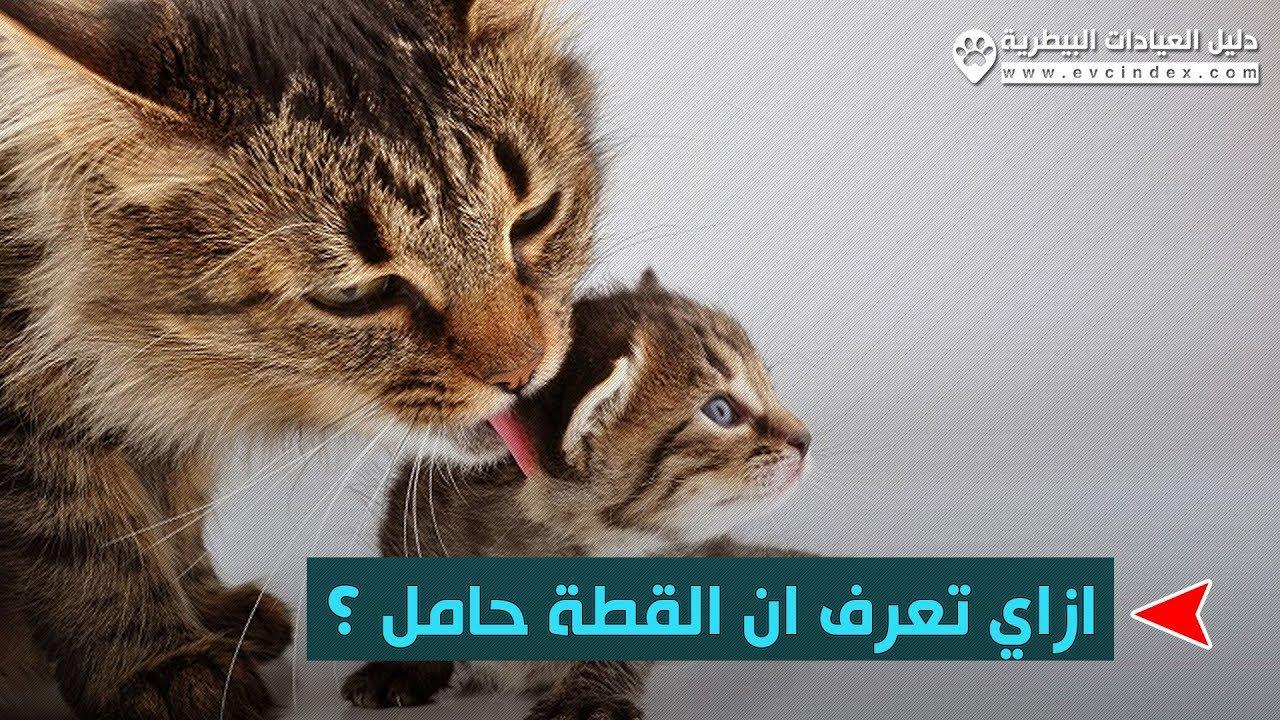 طبيب بيطري يوضح علامات الحمل في القطط بالتفصيل Youtube