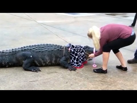 Petite Texas Woman Takes Down 800-Pound Gator
