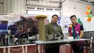 питомник Lacy Cat кот Даниссимо