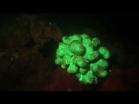 Bio-Fluorescent Coral in Maui, Hawaii