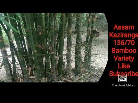 Assam #Bamboo different types Variety Species Best Farming Park baans kheti touristguide Kaziranga