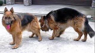 Брачный ритуал Гранда и Дейры. The courtship ritual of German Shepherds.🐶