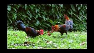 Urban Wild Chickens - The Red Junglefowl (Gallus gallus) in Singapore Part 1/2