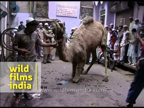 This poor camel knows it's about to be slaughtered : Awareness about animal cruelty