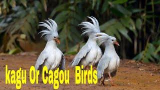 33 Rears Kagu Or Cagou Birds! Top 33 Kagu Or Cagou (Rhynochetos Jubatus) Birds In The World#33