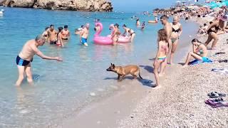 Собака Динго выбежала на пляже посреди дня