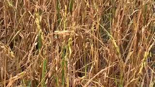Grandine nel novarese: gravi danni alle risaie