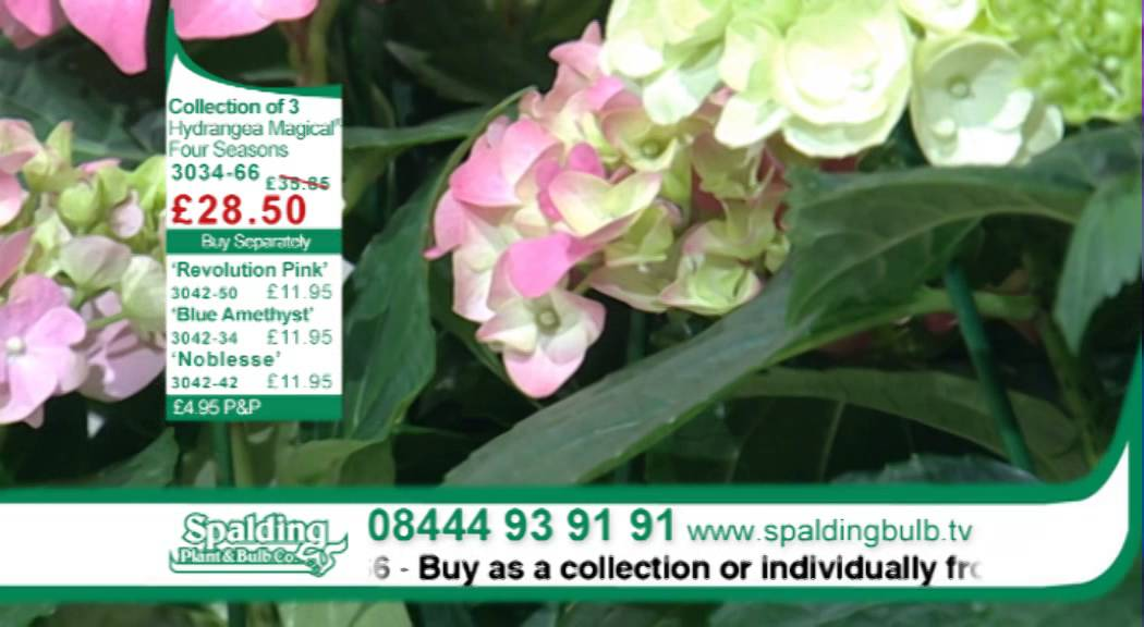Collection of 3 Hydrangea Magical® Four Seasons - YouTube