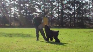 Black Russian Terrier In  Schutzhund Protection  Training