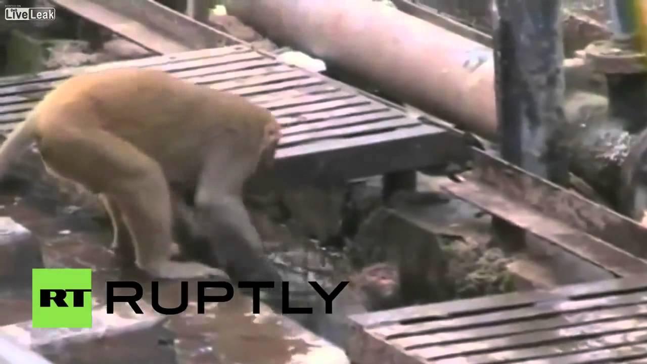 Liveleak Image: India- Watch Heroic Monkey RESUSCITATE