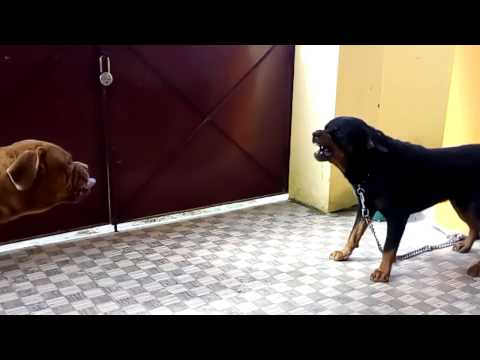 French mastiff aggressive with rottweiler