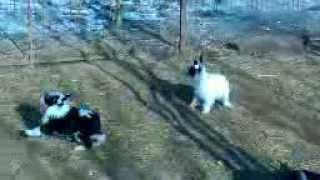 Китайская хохлатая собака щенки от Vellar Pljus Karlayl Ksolo Club и Ksolo Club Zimaleta