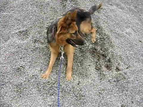 hera chien berger allemand german shepherd joue dans le sable humour gag amussement lol youtube. Black Bedroom Furniture Sets. Home Design Ideas