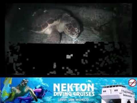 North Western Bahamas, Female Loggerhead Turtle- Nekton Diving Cruises