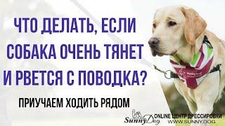 Собака очень тянет, рвется с поводка, что делать? Мягко отучаем и учим ходить рядом на прогулке