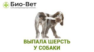 Выпала шерсть у собаки. Ветеринарная клиника Био-Вет.