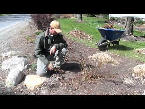 pruning-knockout-roses-in-the-spring-in-albany,ny