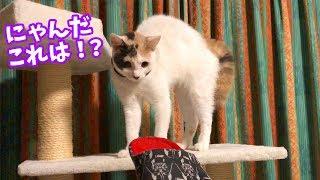 大好きだったスリッパにビビりまくる子猫
