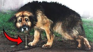 A Kutya, aki 10 ÉVIG volt egy LÁNCHOZ KÖTVE! Ami ez után történt...