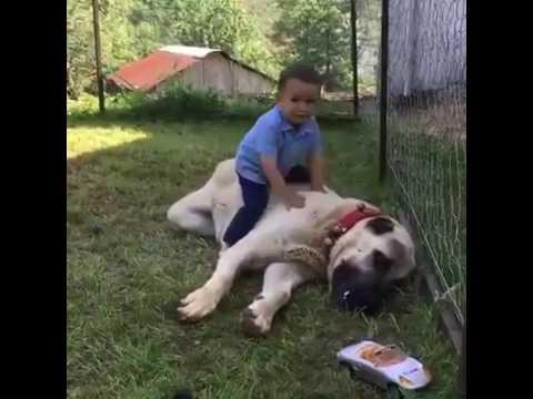 Kangal ile Küçük Çocuk Oyun Oynarsa