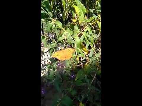 Argynnis (Argynnis) paphia (femmina) su Buddleja Royal red