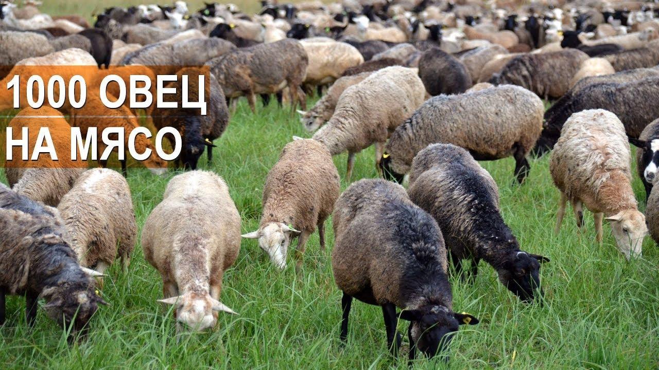 1000 ОВЕЦ НА МЯСО. Фермер Андрей Степаненко. Бизнес в овцеводстве