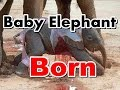 Baby Elephant Born - Birth Of Cute Baby Elephant Video