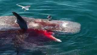 Great White Shark Feeds on Dead Sperm Whale