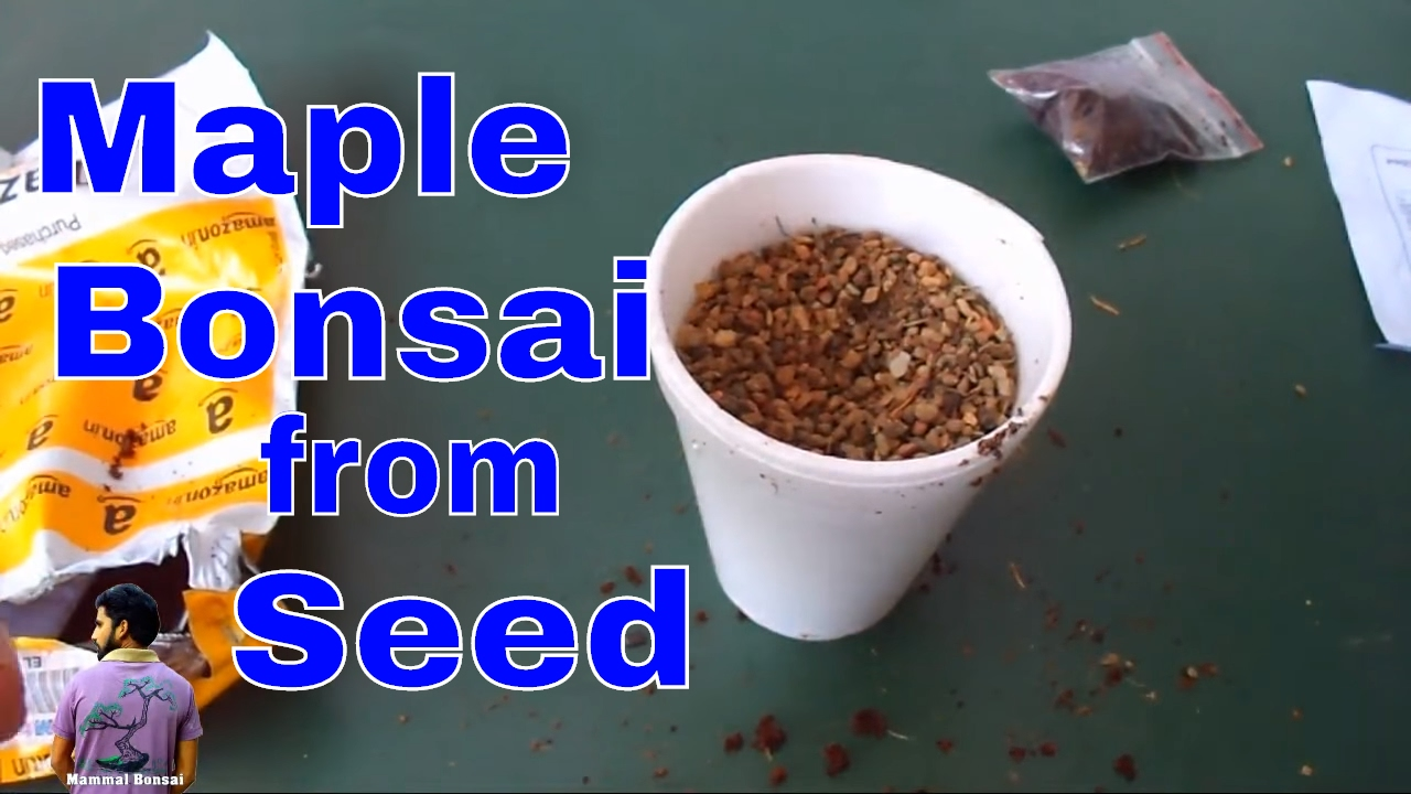 How To Grow Maple Bonsai From Seeds Anese For Beginner 6th June 2017 Mammal