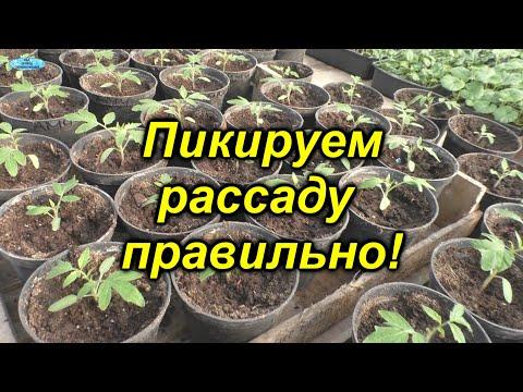 Как правильно пикировать томаты - все тонкости и нюансы! Когда и как нужно пикировать рассаду.   выращивание   пикировать   рассадник   пикировка   пересадка   помидоры   теплица   рассада   томаты   своими